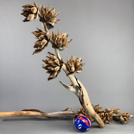 Sororoca Plant Giant, 2 m long x 30 cm spread, natural dried floral deco