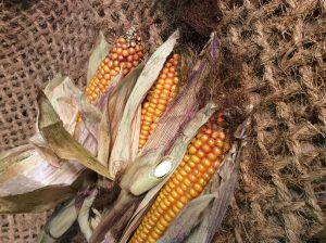 Maize-2-e1507130681365.jpg