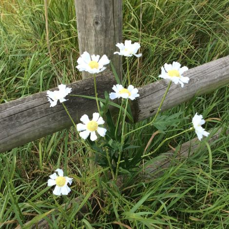 Daisy Field spray, 80cm of artificial flowers and leaves