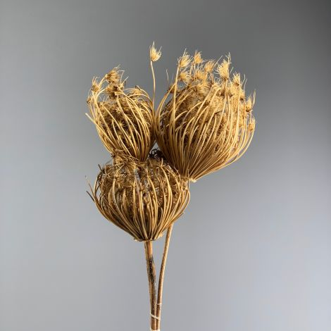 Anethum, approx. 55 cm long by 25 cm wide, natural flower bunch