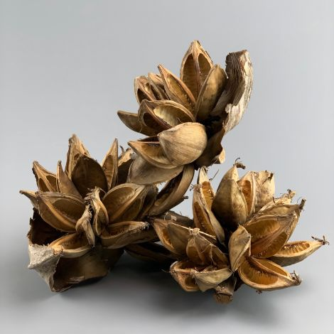 Sororoca Flower Heads, approx. 20 cm long by 20 cm spread, natural, dried floral deco