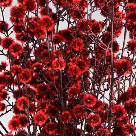 Stirlingia Red, approx 79 cm long by 20 cm wide dried flower bunch