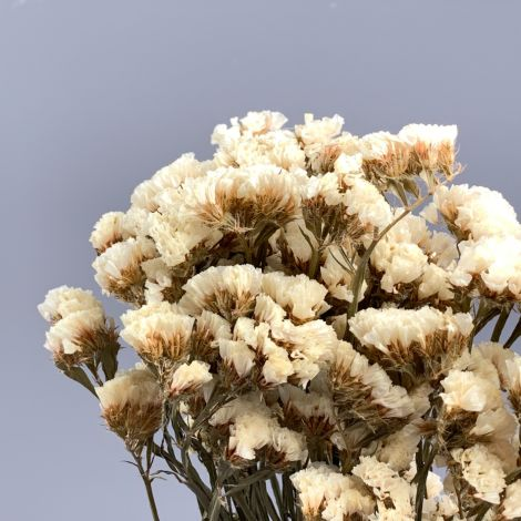 Statice White Bunch, approx. 75cm tall natural dried flowers, indigenous UK grown