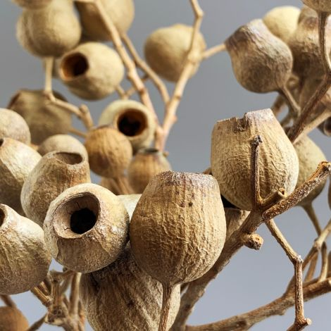 Bellgum Branches x 5, approx. 40 cm long with 30 mm diameter fruit, natural dried floral deco
