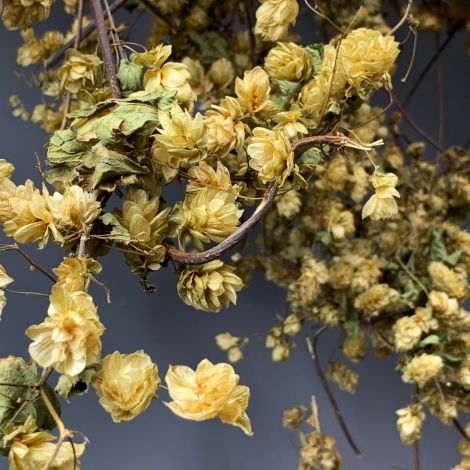 Hop Vine, Natural, 3m long with leaves and flowers, natural dried, indigenous product. Grown in UK