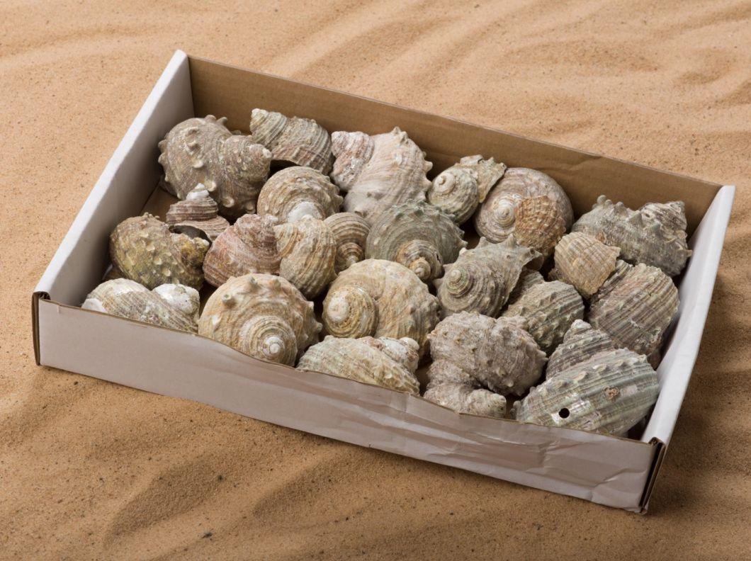 Buff Fossil Shell-4.jpg