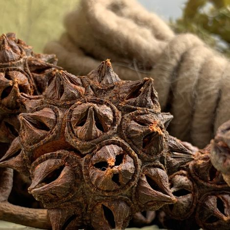 Spidergum Head x 8, approx. 35 mm diameter, natural, dried floral deco