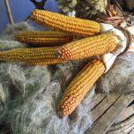 corn2-e1506436370600.jpeg