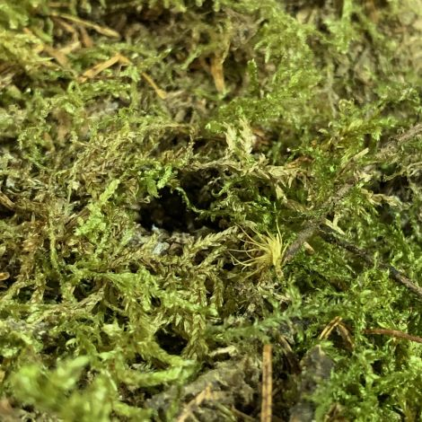 Sphagnum Moss, dried in 500 g bag. Ideal for props, dressing or greens