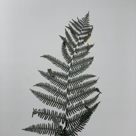 Fern Black/Dark Green, 6 pack, approx. 55 cm length, preserved fronds