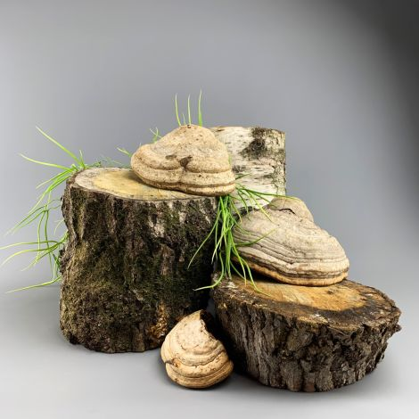 Bracket Fungi, per crate, approx. 6 to 9 pieces up to 25cm diameter, natural, dried floral deco