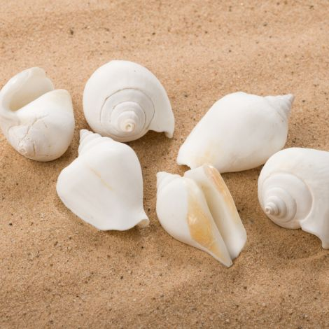 Frothy Champagne Seashell, Approx. 30-40mm Diameter by 50-60mm long