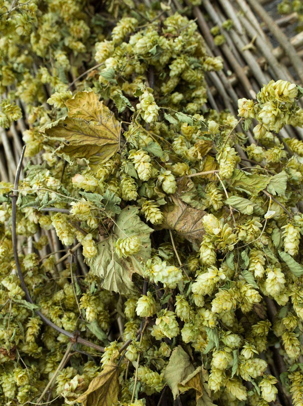 Hops Vine - www.brandonThatchers.co.uk