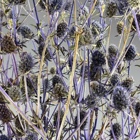 Blue Thistles Bunch, Approx. 70 cm Tall with a 20 cm Spread and approx. 100 heads. Natural Dried Floral Deco