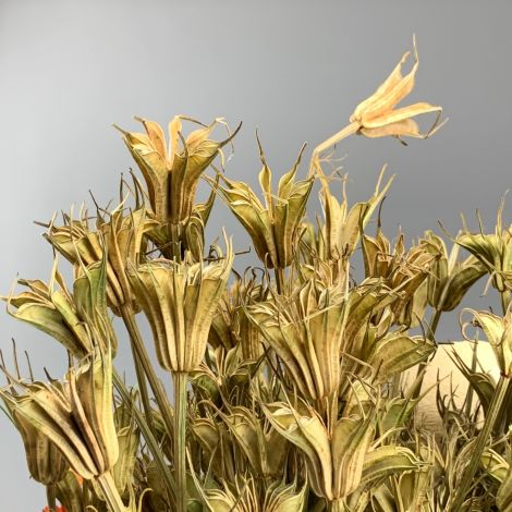 Nigella Oriental, approx. 60 cm long by 15 cm wide dried flower bunch, indigenous, UK grown