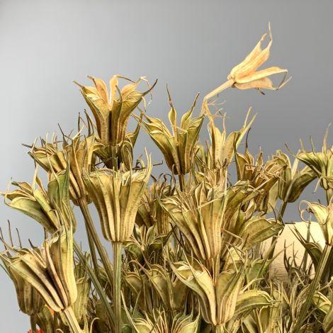 Nigella Oriental, approx. 60 cm long by 15 cm wide dried flower bunch, indigenous, UK grown