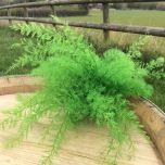 Fern, Vivid green preserved - www.BrandonThatchers.co.uk