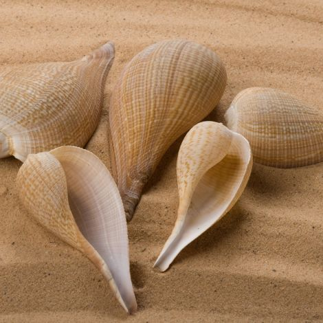 Bermuda Twirl Seashell, Approx. 50 – 60 mm diameter by 100 - 140 mm long