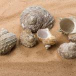 Buff Fossil Shell-2.jpg