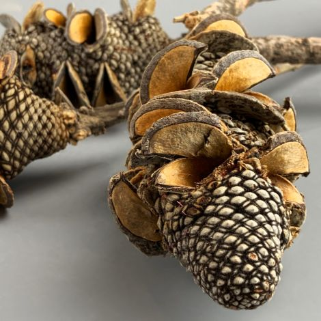 Shrieking Cone, approx. 40 cm long by 10 cm diameter, natural dried floral deco