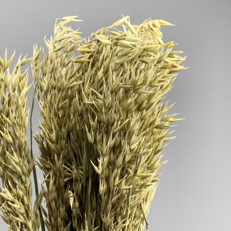Oats, approx. 79 cm tall x 20 cm wide dried cereal bunch, indigenous, UK grown