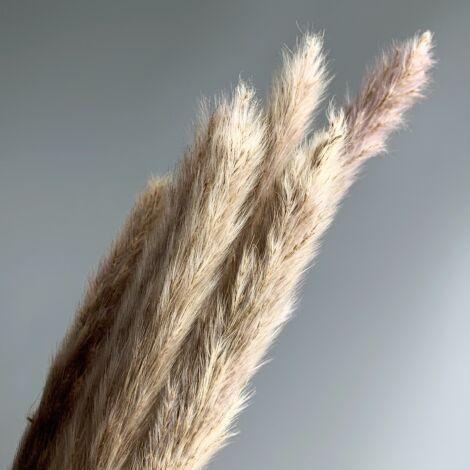 Pampas Grass, Rabbit Tails x 12 stems, 78 cm longdried bunch.