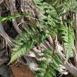 Fern Leaf Spray - www.brandonThatchers.co.uk