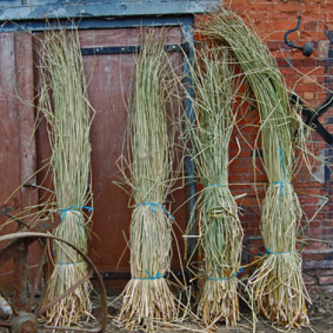 Rushes Bundle, approx. 1.8 m plus tall by 20 cm diameter. Natural, dried plaiting and weaving material