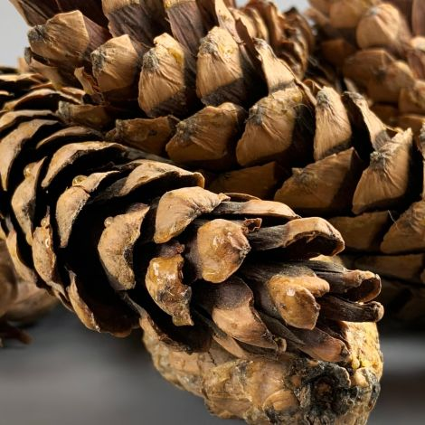 Strobus Pine Cone x 10 , approx. 20 cm Long by 5 cm diameter. Natural Dried Floral Deco