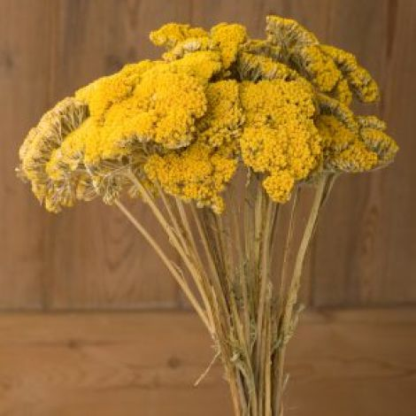 Achillea Yellow, approx. 67 cm tall by 20 cm wide dried flower bunch