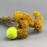 Achillea, Yellow, approx. 67 cm - www.BrandonThatchers.co.uk