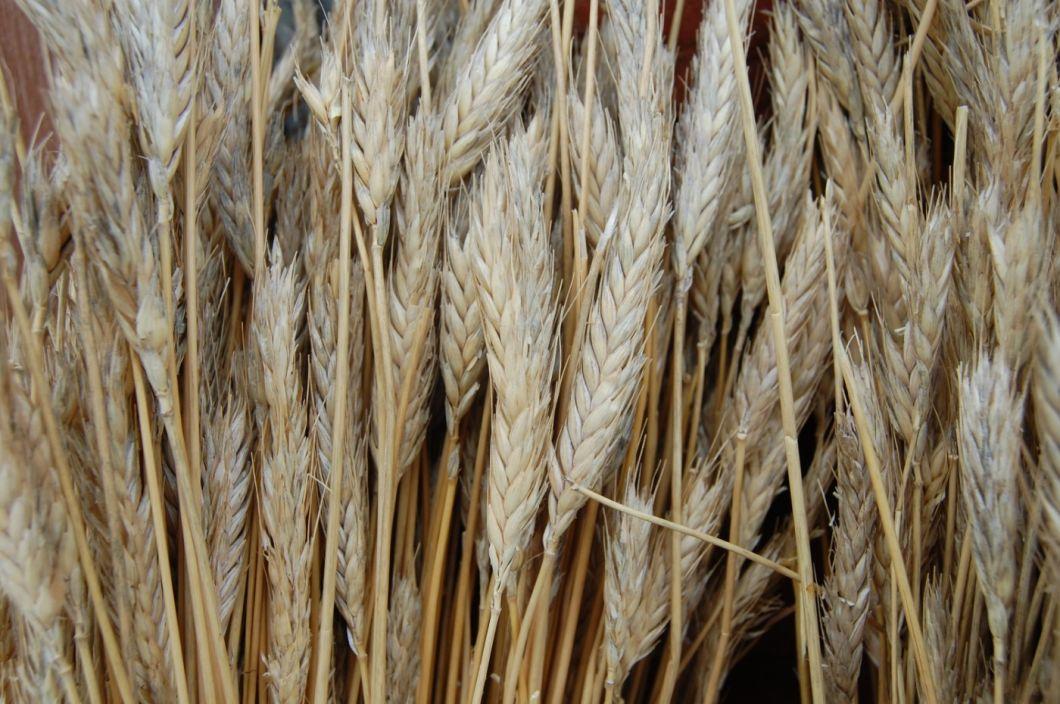 Straw Bundle, approx. 1.2 m – www.BrandonThatchers.co.uk