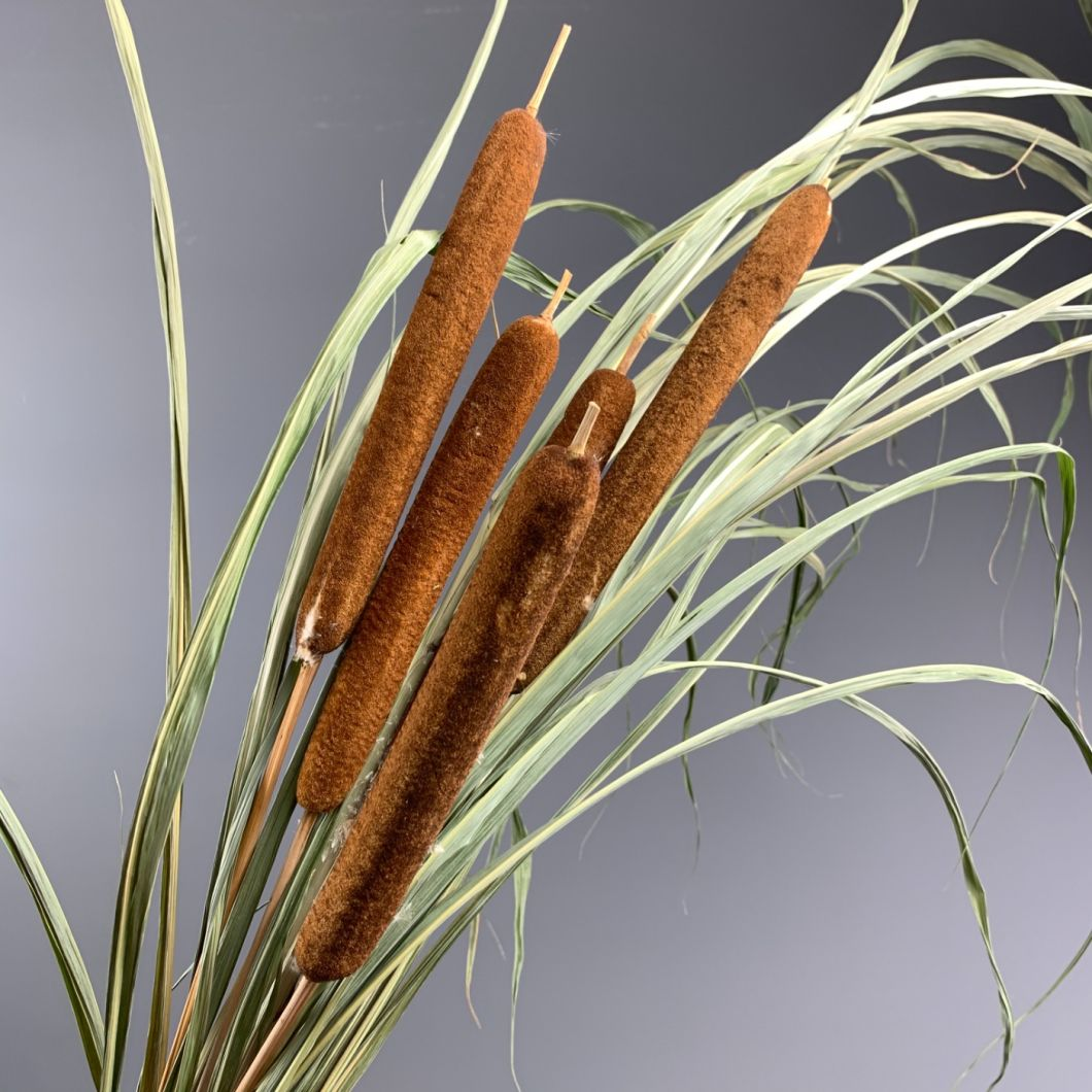 Bulrushes Stems x 5, approx. 80 cm tall, dried